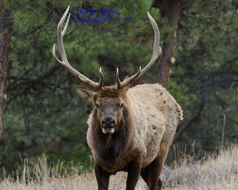 A Bull Elk in Rocky Mountain National Park, Colorado.