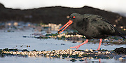 Variable Oystercatcher (6x12-inch wide print)