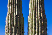 Two Saguaro cacti side by side, Saguaro national Park, Arizona, USA.