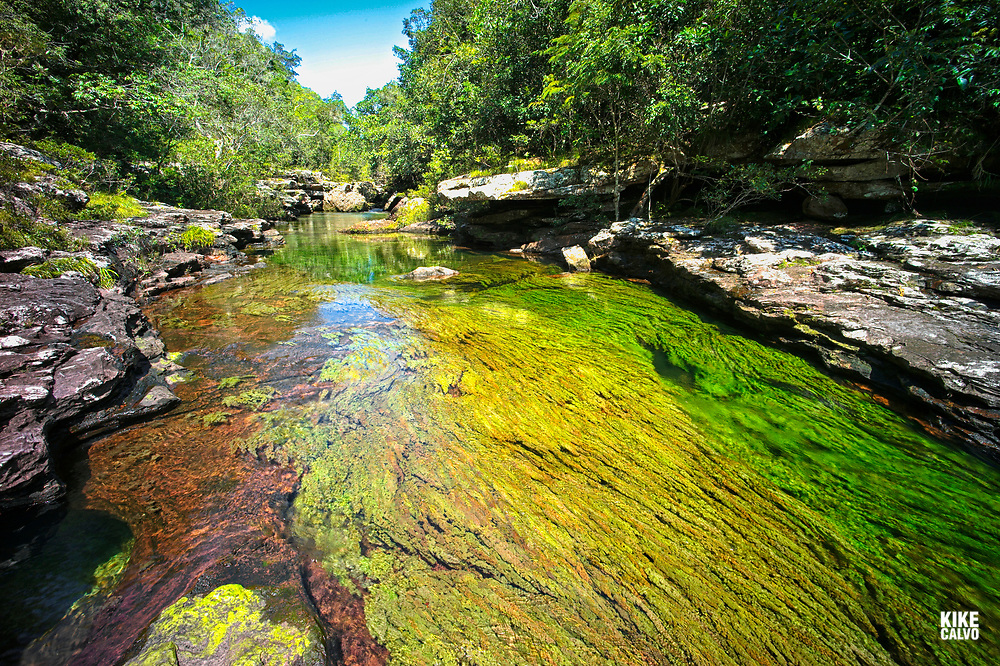 Colorful endemic freshwater plants known as macarenia clavigera create colorful natural tapestries at Cristales Selva in Cano Cristales river, commonly called the River of Five Colors or the Liquid Rainbow.