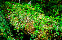 Redwood Sorrel, ferns, mosses and a variety of other plants grow from this fallen tree.  Hoh Rain Forest, Olympic National Park, Washington.