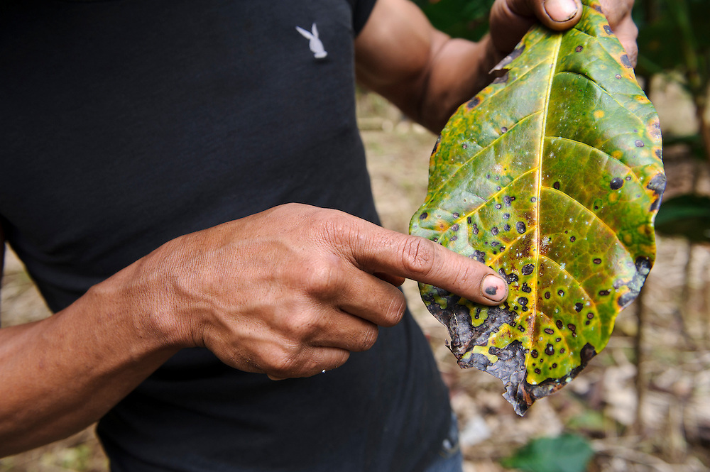 A farmer examining crops attacked by disease or pests, Malino, Sulawesi, Indonesia.