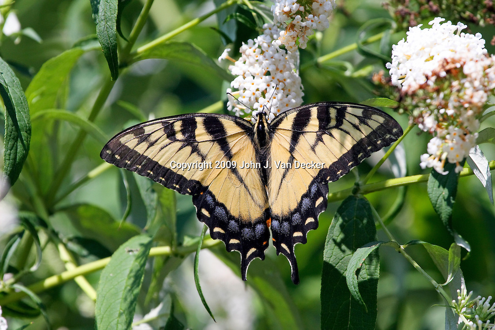 Eastern Tiger Swallowtail butterfly with wings spread