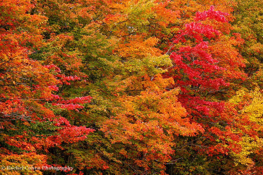 &quot;For Your Eyes Only&quot;<br /> <br /> Feast your eyes upon this row of Maple trees! Gorgeous autumn foliage in a rainbow of colors!!<br /> <br /> Fall Foliage by Rachel Cohen