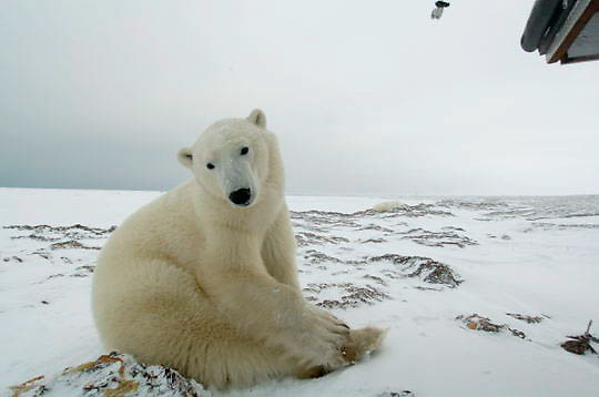Polar Bear (Ursus maritimus) Sub adult resting, low ground view. Churchill, Manitoba. Canada. Winter.