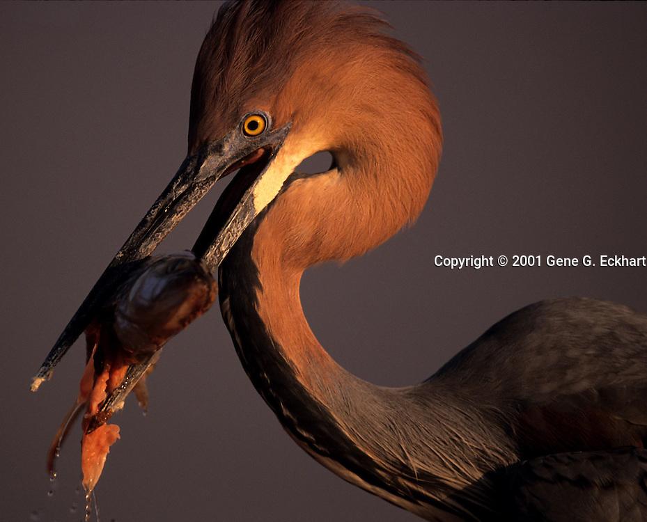 Goliath heron (Ardea goliath) - Matusadonna National Park on the shores of Lake Kariba - Zimbabwe