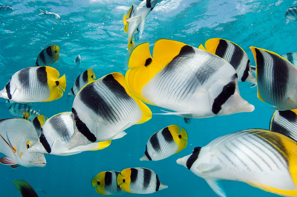 Tropical fish, including Double Saddled Butterflyfish, Chaetodon ulietensis, swim in the shallows of the lagoon in Rangiroa Atoll, French Polynesia