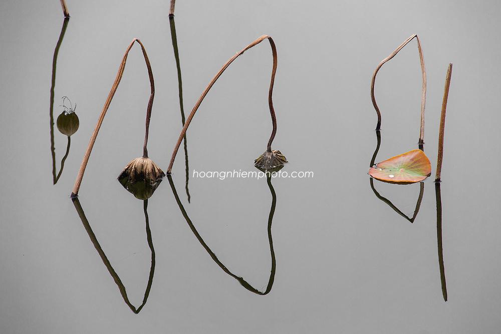 Vietnam Images-nature-still life-lotus -Hoàng thế Nhiệm