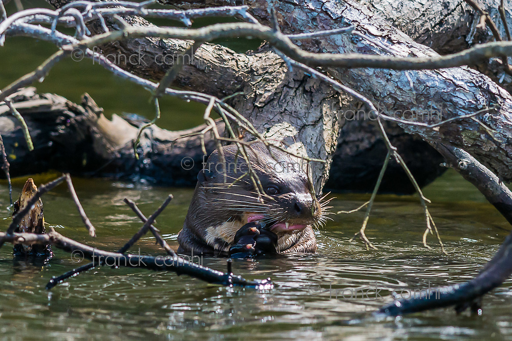 Giant otter eating in the peruvian Amazon jungle at Madre de Dios Peru