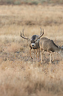 A trophy mule deer buck pursues a doe in estrus during the autumn rut