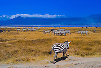 Herds of zebra and blue wildebeest (gnu), Ngorongoro Crater, Ngorongoro Conservation Area, Tanzania
