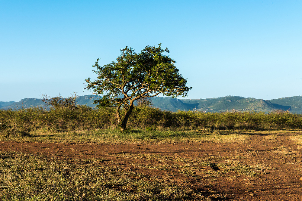 A tree stands alone on the plains of Africa with blue sky and mountians in the background