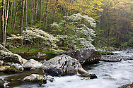 66745-04014 Dogwood trees in spring along Middle Prong Little River, Tremont area, Great Smoky Mountains National Park,TN