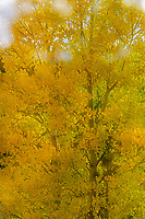 Autumn aspen [Populus tremuloides] in Rocky Mountain foothills; Fremont County, CO