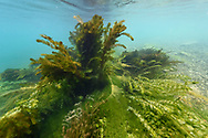 Underwater vegetation with pondweed (potamogeton), Eurasian watermilfoil (Myriophyllum spicatum), American waterweed (Elodea canadensis) and the  alga chara in the river Reuss, Lucerne, Switzerland