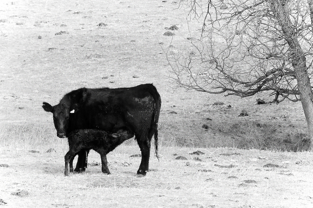 As winter fades in the Dakotas, calving season begins. With colder temperatures and spring snows quite common, an very crucial part of a calf's survival is quickly learning to suckle.