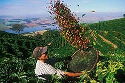Areado, Minas Gerais, Brazil. 07/2002.Lavoura de cafe Catuai Vermelho. Trabalhador na colheita. /  Worker harvesting the coffee beans in a Brazilian farm, in Minas Gerais State..