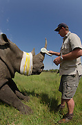 White Rhinoceros (Ceratotherium simum) darted for relocation. With Conservation Solutions Vet Andre Uys checking micro chip in horn<br /> Private Game Reserve<br /> SOUTH AFRICA<br /> RANGE: Southern & East Africa<br /> ENDANGERED SPECIES