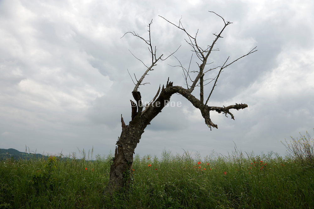 dead tree in spring green grass against a gray sky