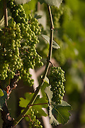 Detail of vineyards in the wine growing region south-west of Bolzano, South Tyrol, northern Italy.
