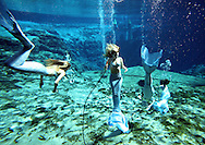 Mermaids swim at Weeki Wachee Springs near Tampa, Florida.   The mermaid show is a living remnant of Florida's past.