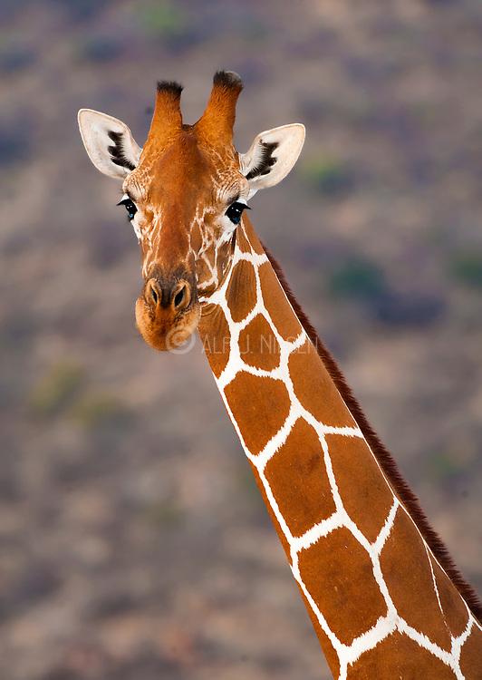 Reticulated giraffe (Giraffa camelopardalis reticulata) from Samburu National Reserve, Kenya.