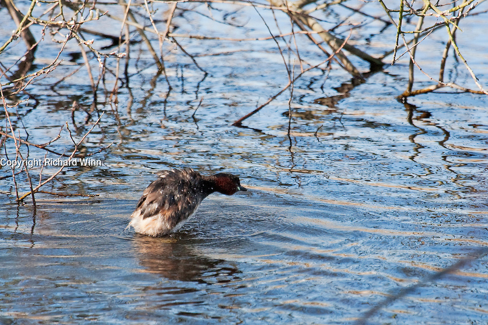 Dabchick or little grebe diving into the water at Shapwick Heath, showing the surrounding environment for context.