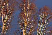 Birch (Betula sp.) trees at sunset, Winnipeg, Manitoba, Canada