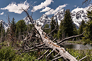 A felled tree slopes toward Mount Moran and the Grand Teton mountains at Schwabacher Landing Beaver Pond in the Grand Teton National Park in Moose, Wyoming.
