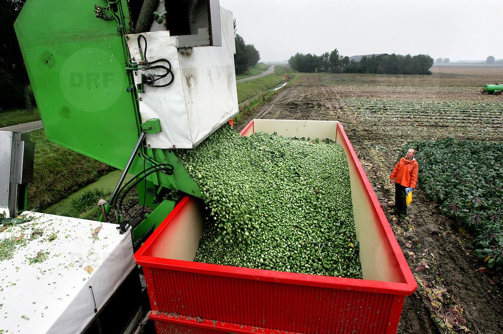 Nederland Geervliet 10 oktober 2006.Spruiten oogsten door akkerbouw bedrijf B.Piek Over een lopende band worden de spruiten langsgevoerd, de slechte exemplaren worden verwijderd. .Foto David Rozing /
