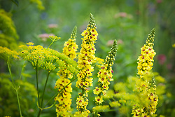 Verbascum chaixii growing amongst flowering parsnip. Pastinaca sativa