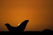 Cape fur seals (Arctocephalus pusillus pusillus) Tsau-ǁKhaeb-(Sperrgebiet)-Nationalpark, Namibia | Kap-Pelzrobbe (Arctocephalus pusillus pusillus), auch Südafrikanischer Seebär genannt. Sperrgebiet National Park, Namibia