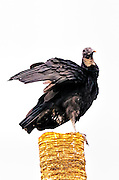 Black Vulture sinting on a post with its wings partially raised