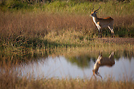 A Red Lechwe antelope is reflected in a pond in the Okavango Delta region of Botswana.