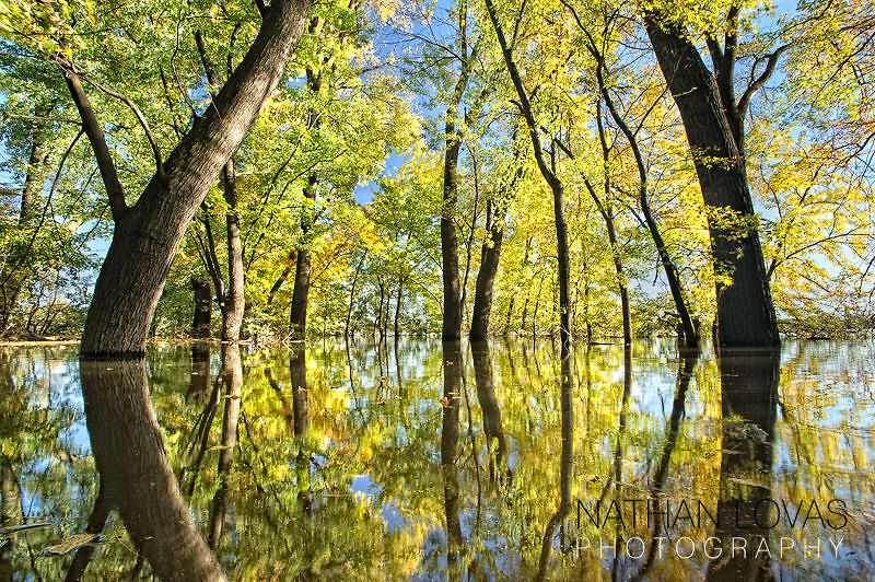 Trees with autumn foliage in flooded Minnesota River Valley-Eden Prairie, MN.