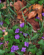 Spring Blue Violets and old Oak leaves