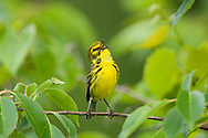 Prairie Warbler, Dendroica discolor; Indiana