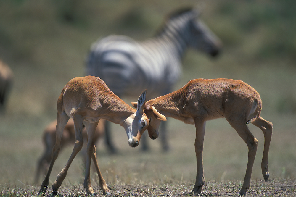Kenya, Masai Mara Game Reserve, Topi antelope calves (Alcelaphus buselaphus) butt heads along Mara River