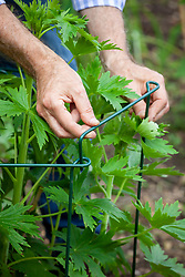 Supporting young delphinium plants with link stakes as they start to grow taller