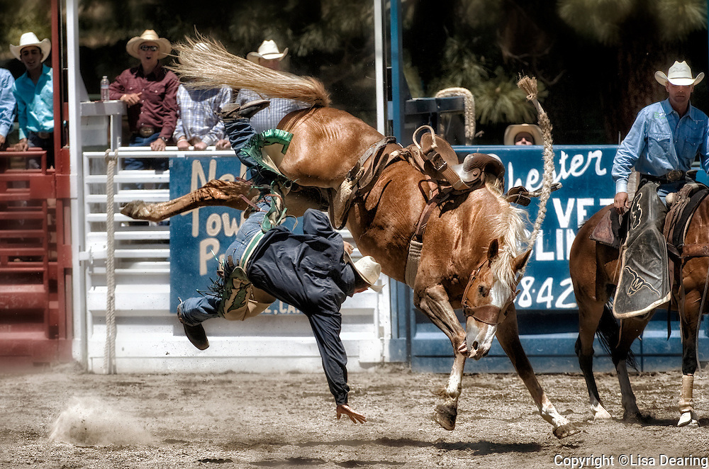 Cowboy Getting Bucked off Bronc at Rodeo, Taylorsville, California