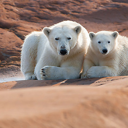 Bear cubs learnby immitating their Mother. After having arrived at shore they now have to get by in summer month. Waiting for the return of the sea ice begins. Hudson Bay, Manitoba, Canada