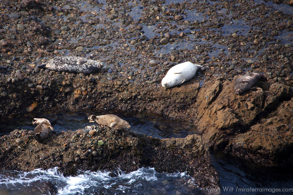 USA, California, Point Lobos. Harbor Seals at Point Lobos State Reserve.