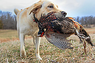 Rescued Lab Pup Gets Her First Taste of Hunting Cecil Bell and his rescued Lab mix Bric