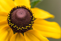 Brown-eyed Susan, Rudbeckia hirta<br /> Photographer: Stephen Fisher<br /> Ranch: Texas Photo Ranch - River Revocable Surface, LLC - River Testamentary Surface, LLC<br /> Refugio County