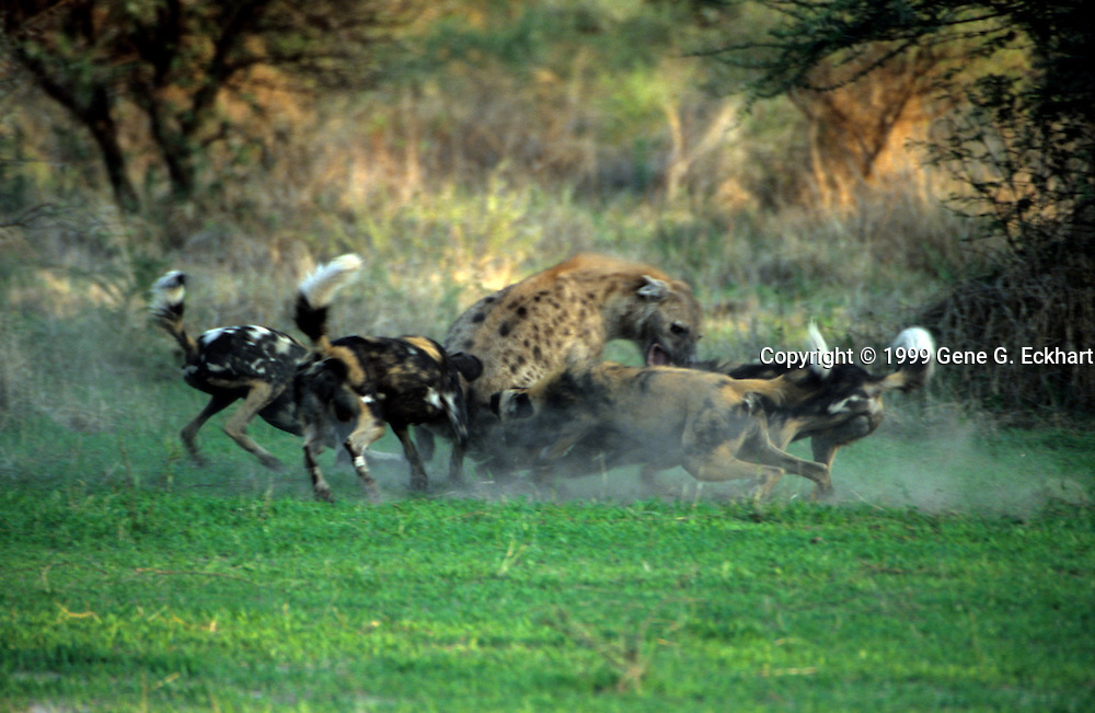 African Wild Dog (Lycaon pictus)  -  Mombo - Okavango Delta - Botswana   <br /> <br /> In this rare behavioural photo, a pack of Wild Dogs are harassing a Spotted Hyaena (Crocuta crocuta). This photo is an excellent example of how the dogs work together. You can see how the larger hyaena is completely overwhelmed by the pack.