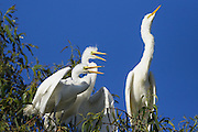 Great Egret <br /> Ardea alba<br /> Parent and 4-5 week-old-chick(s)<br /> Sonoma County, California