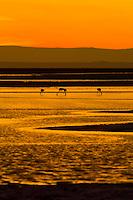 James' Flamingos at sunset on the Chaxa Lagoon, Atacama Salt Flat (Salar de Atacama), Los Flamencos National Reserve, Atacama Desert, Chile