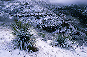 Snow-covered agave in Salt River Canyon, Fort Apache Indian Reservation, Arizona
