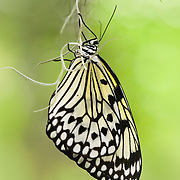 Tree Nymph (Idea leauconoe) Butterfly, also known as Paper Kite Butterfly or Rice Paper Butterfly