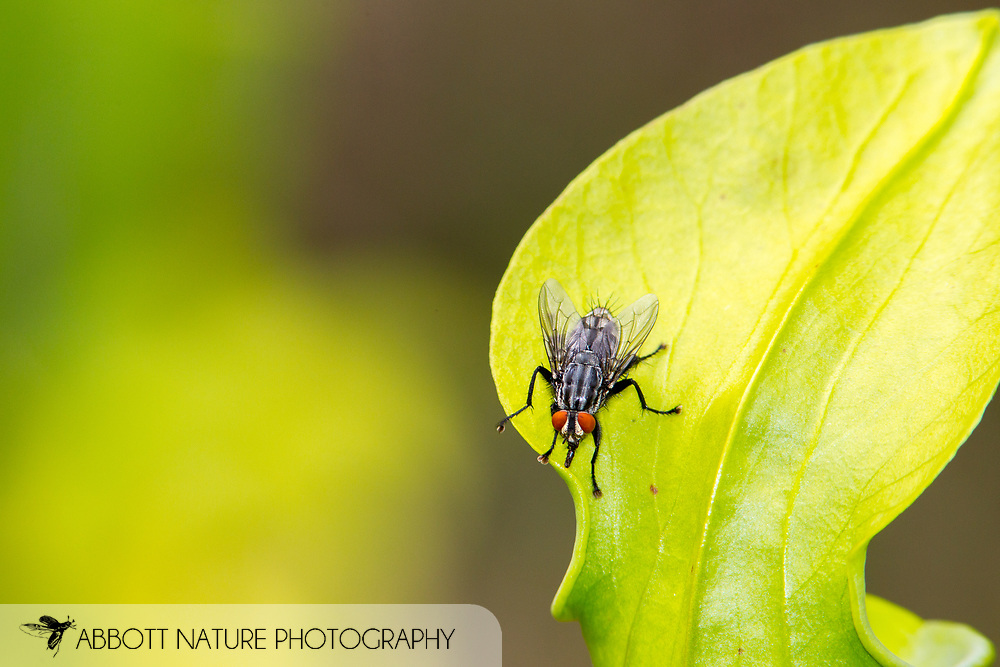 Flesh Fly (Sarcophaga sp.?sarracenia)<br /> TEXAS: Jasper Co.<br /> Boykin Springs Recreational Area; Angelina National Forest<br /> Pitcher Plant Bog on gas pipeline easement<br /> 15-Apr-2015<br /> 31.063495 -94.279479 <br /> J.C. Abbott #2728 &amp; K.K. Abbott